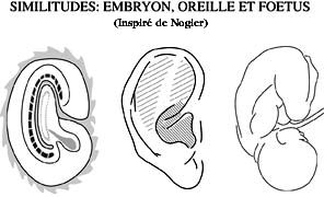 Embryon, oreille et foetus ( inspiré de Nogier )